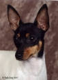 Toy Fox Terrier, 2 years, White, Black & Tan